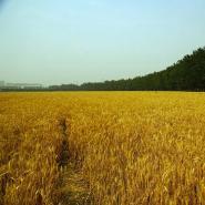 土地 季节—麦籽的变迁